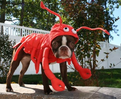 Draft_lens2163276module11395675photo_1220855658lobster-dog-costume